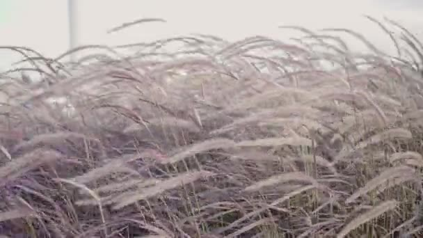 Chinese purple fountain grass blowing in summer wind with blue sky. Feather grass, Pennisetum setaceum (Rubrum) blow by wind.