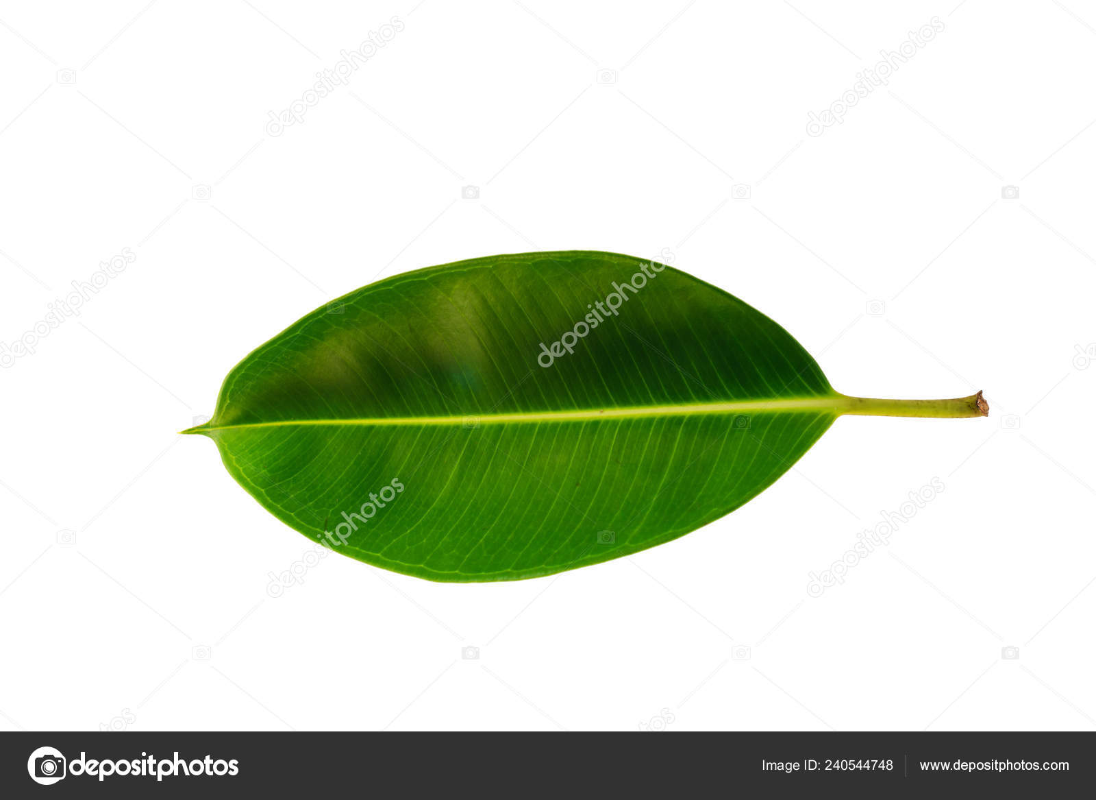 Potare Il Ficus Elastica tropical green leaf isolated white background clipping path