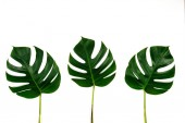 Fotografie Monstera green leaf isolated on white background in flat lay style and top view. Palm leaf, Real tropical jungle foliage Swiss cheese plant.