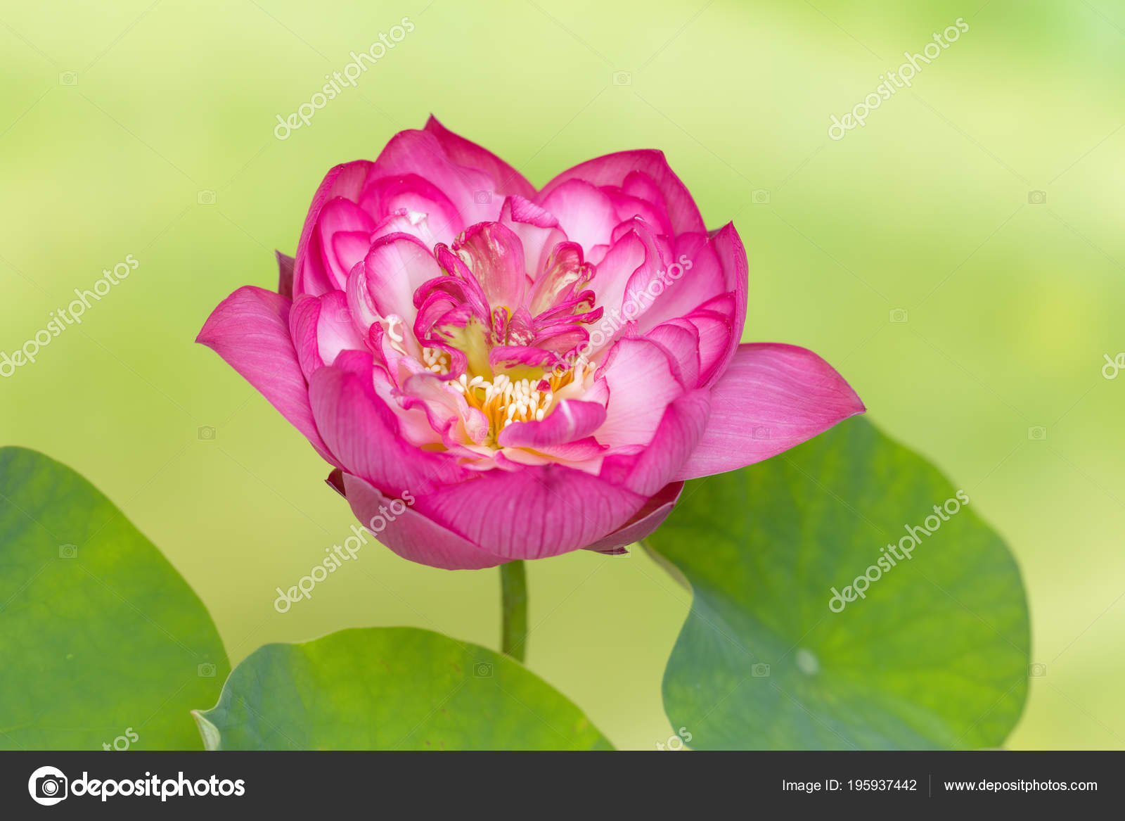 Full Bloom Lotus Flower Named Lotus Nelumbo Elite Red Stock Photo