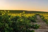 Vinice v regionu Rioja Alavesa, Španělsko