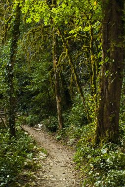 a trail in a broad-leaved mountain forest among mossy tree trunks