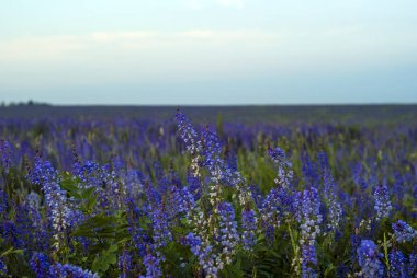 background - field with purple alfalfa flowers