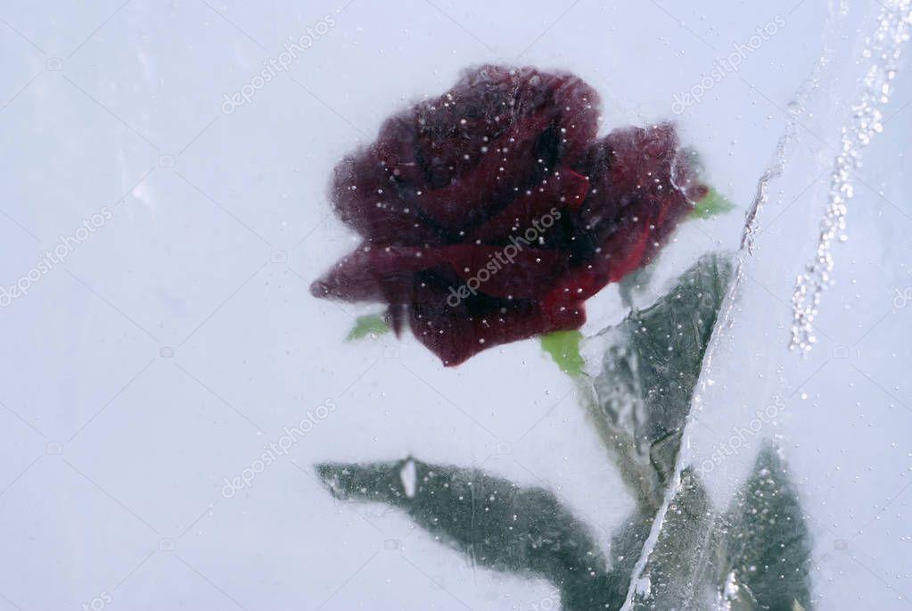scarlet rose, frozen in ice