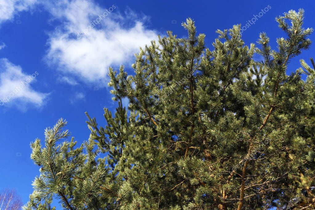 pine branches on a background of bright blue spring sky