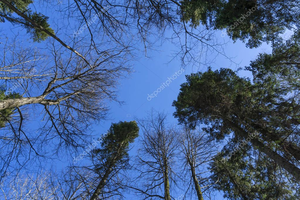 crowns of pines and deciduous trees without leaves against a background of bright blue March sky, a view vertically from below upwards