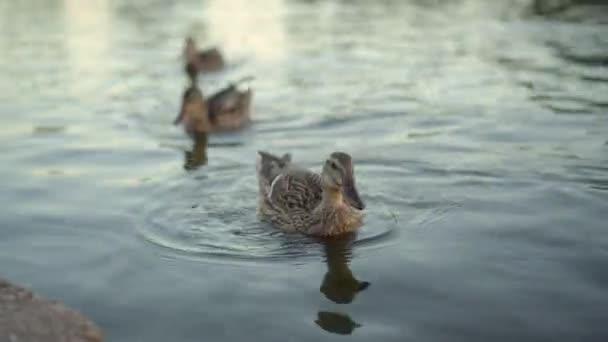A vadkacsák este úsznak a tavon.