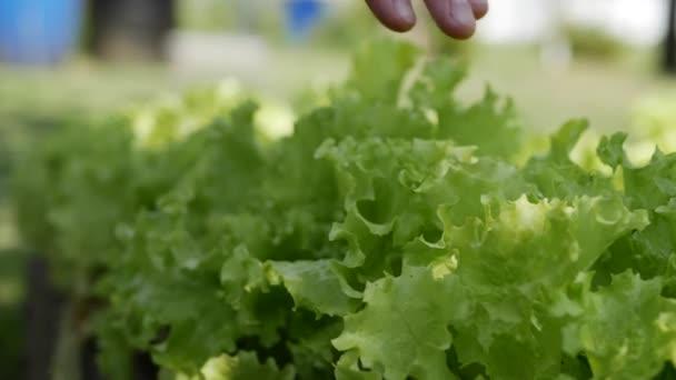 A gazda női keze ellenőrizze, és vedd zöld szaftos saláta levelek a kertben. Friss és bio mezőgazdasági termékek. Közeli. 4k
