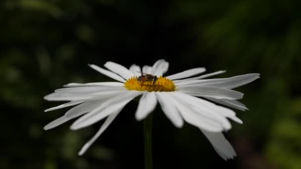 A bee sitting on a daisy flower on a sunny day. Chamomile swaying in the wind in clear weather. Natural forest background, wildflowers. Close-up. 4K
