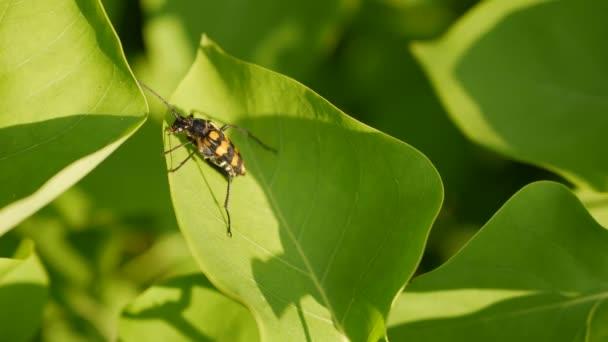 Close-up di uno scarabeo nero e arancione su una foglia verde in Garder. 4K