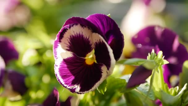 Flowerbed with pansies of different colors. Viola wittrockiana flowers in a garden are moving in wind. Closeup. 4K