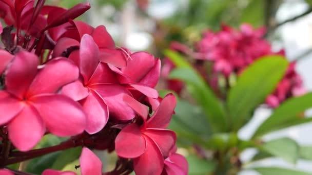 Ága vörös virág Plumeria vagy Frangipani zöld lombozat kígyózik a szél szellő. Forró rózsaszín virágok. Vértes. 4k