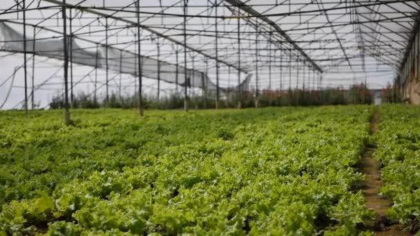 Pěstování zeleného salátu ve skleníku. Zemědělská farma
