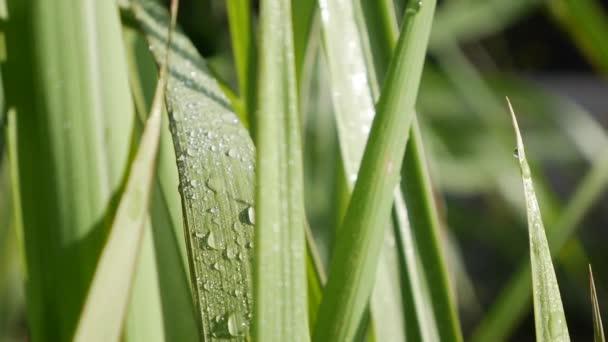 Čerstvá ranní rosa kape na zářivě zelenou trávu ozářenou sluncem vanoucím ve větru. Detailní záběr