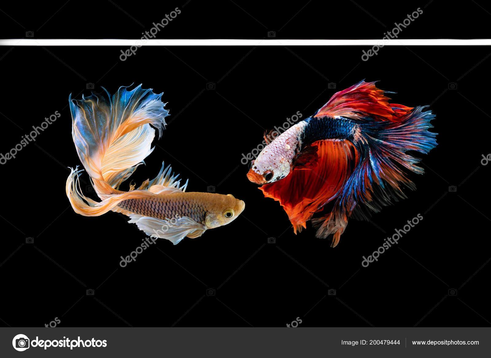 Halfmoon Betta Beautiful Fish Capture Moving Moment Beautiful Siam