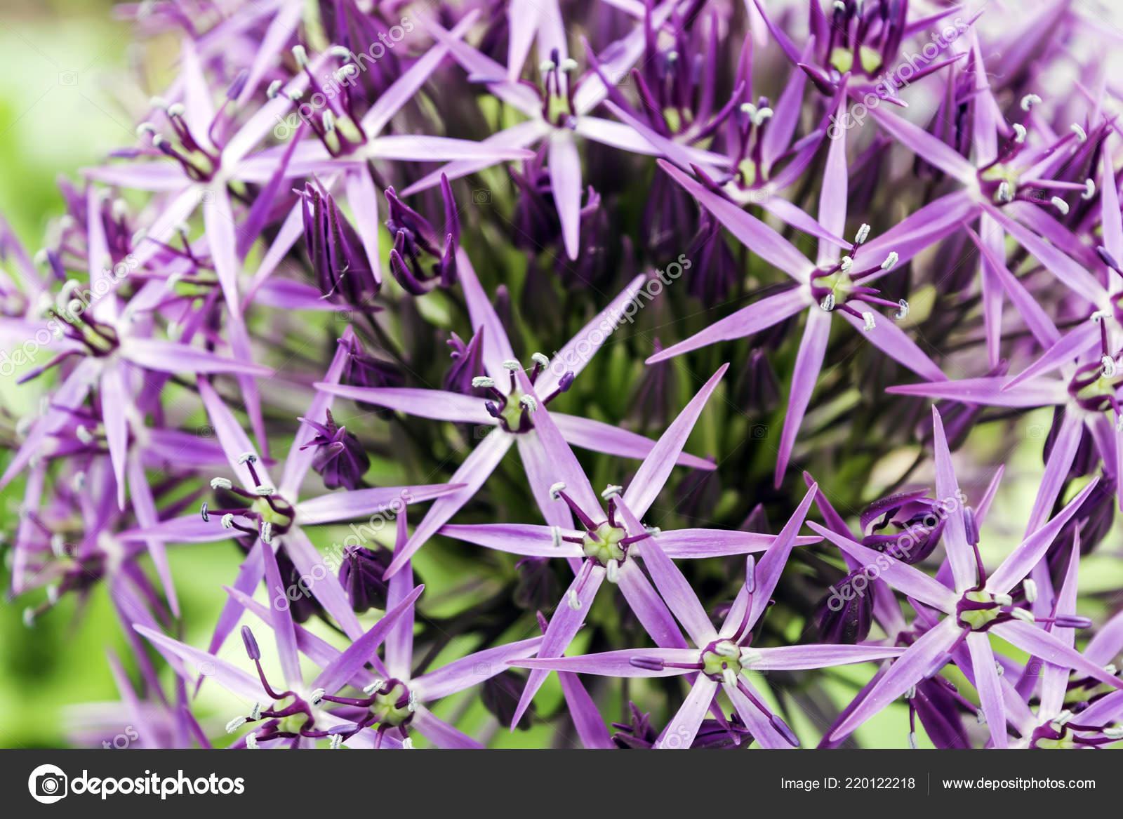 Как цветы лука называются