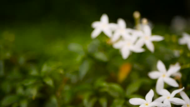 Detailní záběr bílé květy nebo Gerdenia krepu jasmín, Gardenia jasminoides, pozadí