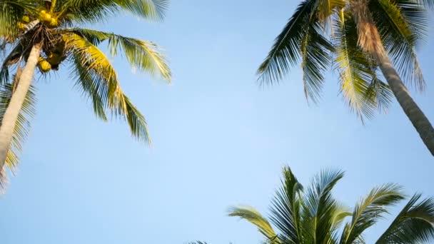 Delle palme di cocco corone contro cielo blu pieno di sole prospettiva vista dalla terra