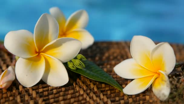 Fresh white frangipani plumeria tropical exotic flowers over blue swimming pool water