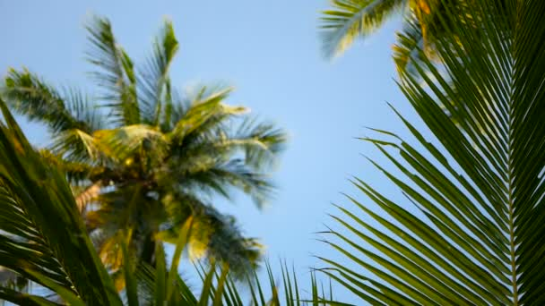 Coconut palm trees crowns against blue sunny sky perspective view from the ground.