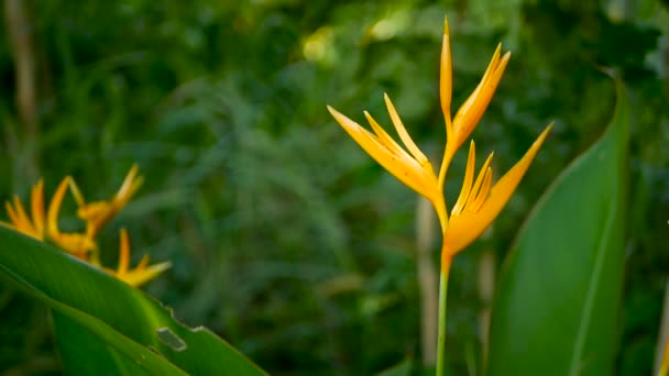 Orange and yellow heliconia, Strelitzia, Bird Paradise macro close-up, green background. Exotic tropical blooming flower