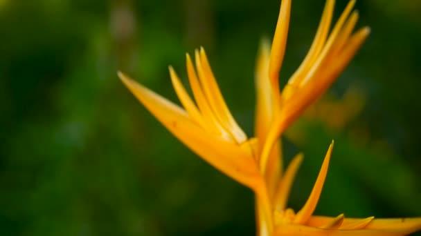 Oranžové a žluté heliconia, Strelitzia, ptačí ráj makro detail, zelené pozadí. Exotické tropické kvetoucí květina