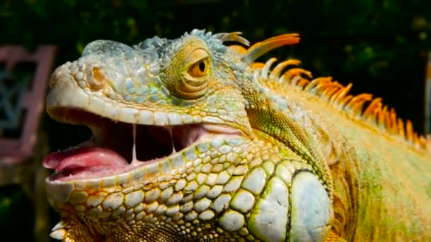 Spící drak. Detail portrét odpočívá pulzující ještěrka. Selektivní fokus. Leguán zelený původem z tropických oblastí