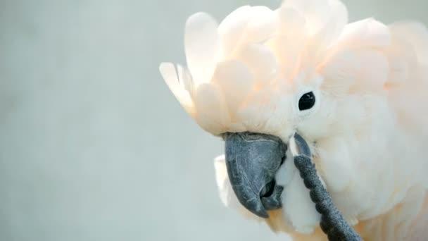 Kakadu molucký nebo deštník. Portrét z bílých papoušek, exotických endemických ptáků na tropický deštný prales na ostrovy Indonésie