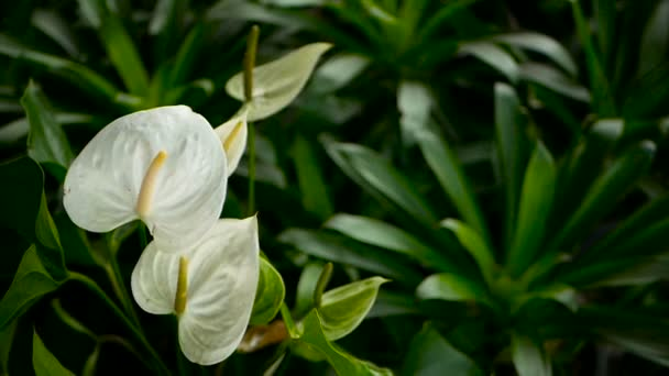 Wild delicate poisonous Calla lily with yellow stamen blooming in the garden as natural floral background.