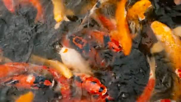Karpers In Tuin : Levendige kleurrijke japanse koi karper vissen zwemmen in de