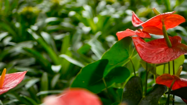 Divoké delikátní jedovaté Kala s žlutým tyčinka kvetoucí zahradě jako přírodní květinové pozadí.