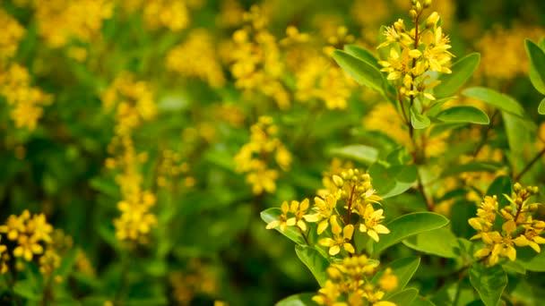 Spring Field Of Small Yellow Flowers Of Galphimia Evergreen Shrub