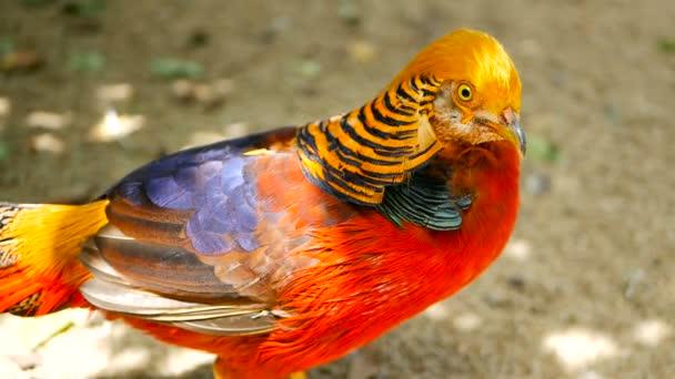 Csodálatos elegáns férfi a kínai vörös arany fácán, Chrysolophus Pictus szabadban. igazi természetét-vad egzotikus madár
