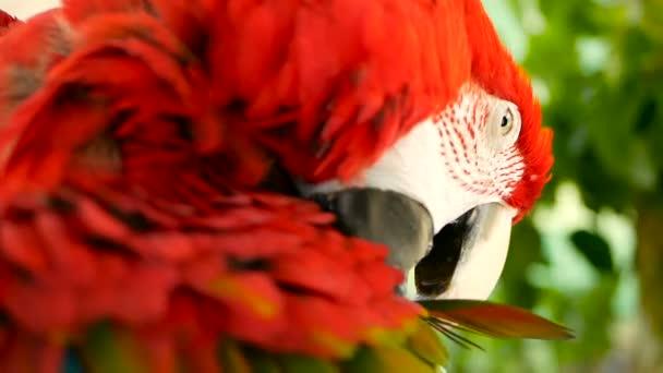 Zblízka se červená Amazon Scarlet papoušek papoušek nebo Ara macao, v lese tropické džungle. Wildlife barevný portrét ptáka