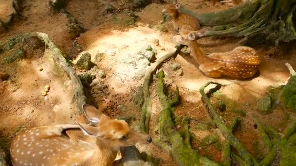 Vadon élő jelenet. Fiatal whitetail szarvas, vadon élő emlős állat a környező erdő ugaron hagyását. Foltos, Chitals, Cheetal, tengely