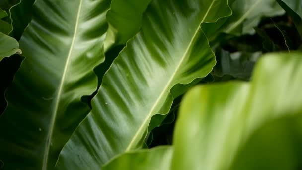 Madarak fészket páfrány, Asplenium nidus. Vadon élő paradicsom esőerdők dzsungel növény természetes virágos háttérként. Absztrakt textúra