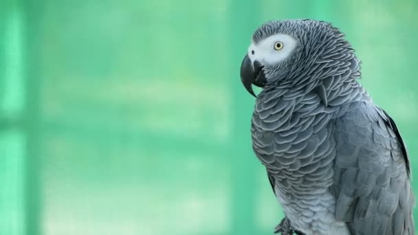 Red-tailed monogamous African Congo Grey Parrot. Companion Jaco is popular avian pet native to equatorial region.