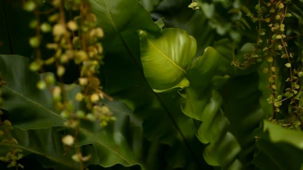 Felce del nido di uccelli, Asplenium nidus. Pianta selvatica paradiso foresta pluviale giungla come sfondo floreale naturale. Struttura astratta