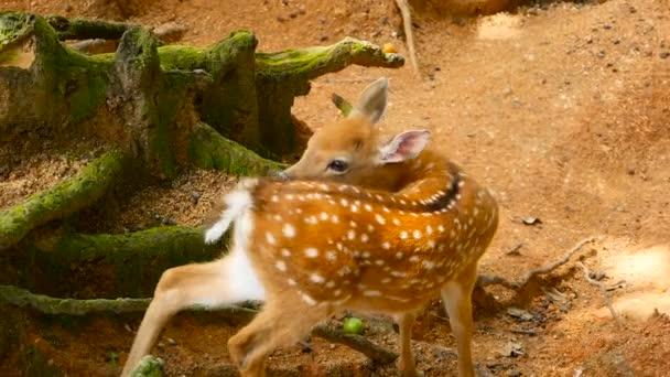 Přírodní scéna. Mladá ladem Vidloroh, volně žijící savec zvíře v lese-okolí. Skvrnitý, Chitals, Cheetal, osa