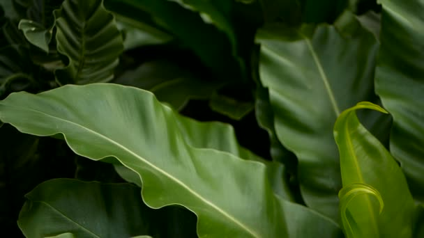 Birds Nest fern, Asplenium nidus. Wild Paradise rainforest jungle plant as natural floral background. Abstract texture