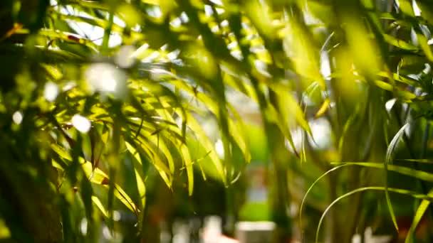 Sfuocatura di foglia di Palma tropicale verde con luce del sole, sfondo naturale astratto con bokeh. Fogliame lussureggiante defocused