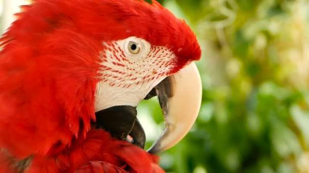 Zár-megjelöl-ból piros Amazon skarlátvörös Ara papagáj vagy Ara Makaó, trópusi dzsungel erdőben. Vadon élő madár színes portréja