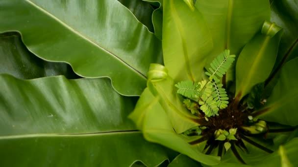 Ptáci hnízdo kapradin, Asplenium ložisko. Paradise rainforest džungle rostlin jako přírodní květinové pozadí. Abstraktní textury zavřít nahoru čerstvé exotické tropické zelených čerstvých kudrnaté listy v temném lese fantasy