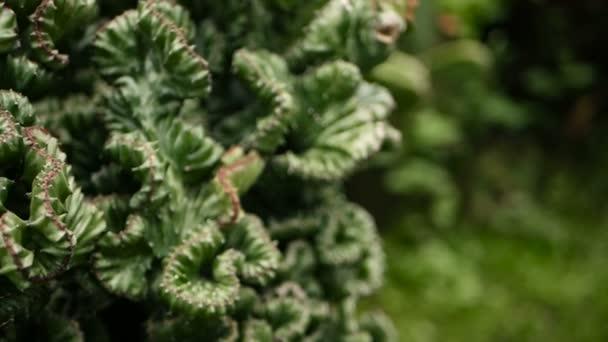 Euphorbia Tajtékos örökzöld sivatagi növény, Dísznövény a kertben termesztik. Pozsgás növények háttér, természetes minta