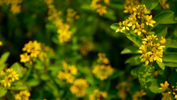Jarní pole malých žlutých květin Galphimia. Stálezelený keř tvaru hvězdy zlaté Thryallis glauca.