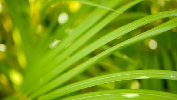 Rozostření tropické zeleně Palmový list s sluneční světlo, přírodní pozadí abstraktní s bokeh. Rozostřeného svěží zeleň