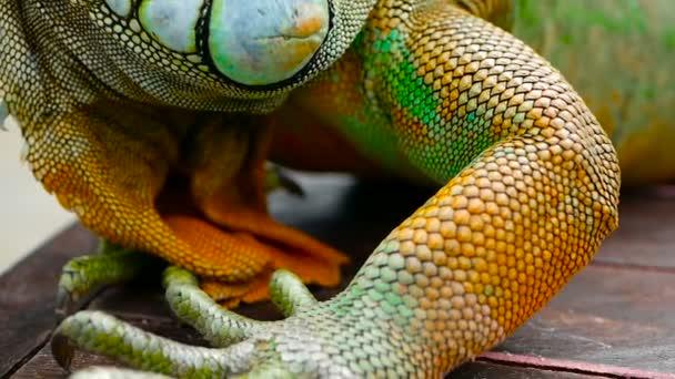 Alvó sárkány. Közelkép portréja pihenő élénk gyík. Szelektív összpontosít. Zöld leguán trópusi területeken őshonos