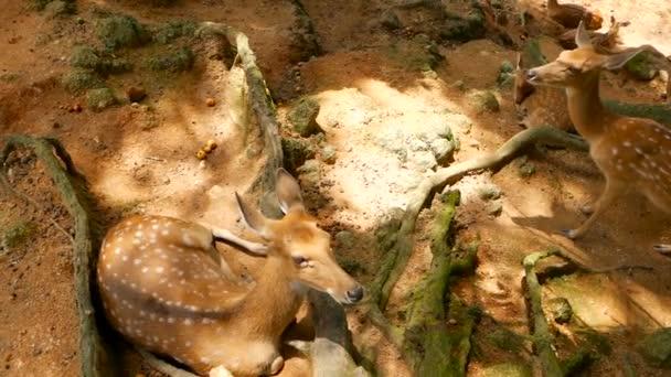 Tierwelt-Szene. Junge brach Whitetail Deer, wilde säugetier tier im Wald umgibt. Gepunktet, Chitals, Cheetal, Achse