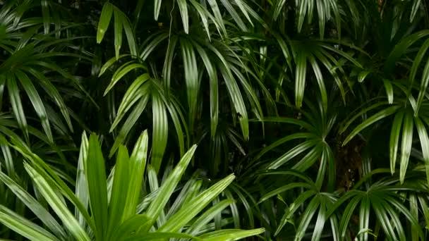 Brillante succose esotici tropicali verdi nel clima giungla foresta equatoriale. Sfondo con insolita pianta fogliame ondeggianti. Struttura naturale con foglie succose. Luce solare su foglia di Palma