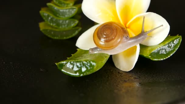 Mollusk walking on aloe vera leaf isolated, black background with frangipani plumeria tropical flower. Snail Serum moisturize cosmetic, beauty spa concept. macro closeup, soft focus. Mucus secretion.